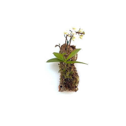 Vlinderorchidee (Phalaenopsis sp.)