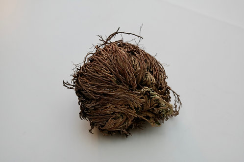 Valse roos van Jericho (Selaginella lepidophylla)