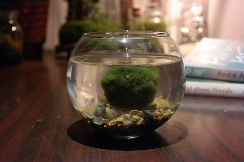 Medium aquarium met 2 Marimo mosballen