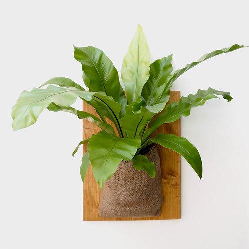 Nestvaren (Asplenium australasicum)