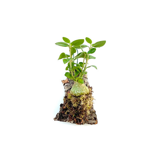 Mierenplant (Hydnophytum papuanum)