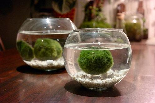 Medium aquarium met 2 Marimo mosballen