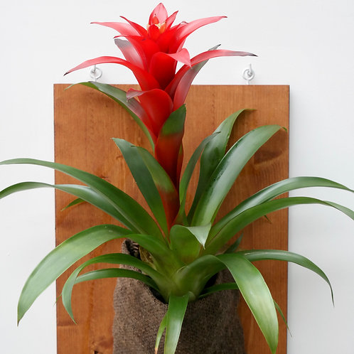 Guzmania bromelia (Guzmania lingulata 'Red')