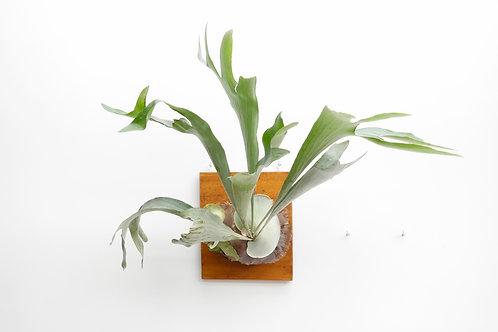 Hertshoornvaren (Platycerium bifurcatum)