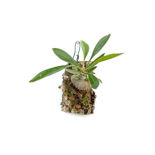 Mierenplant (Myrmecodia beccarii)