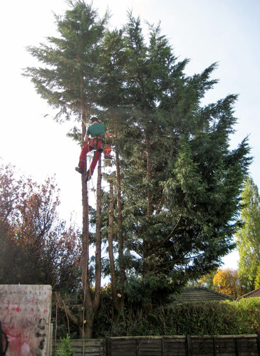 Leylandii reduction 2