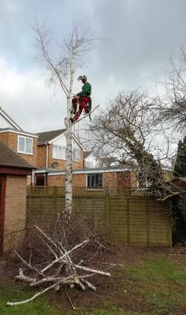 Silver birch removal 2