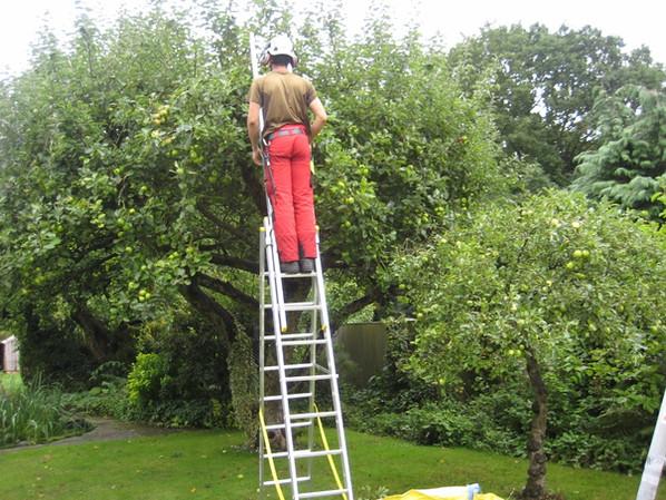Pruning apple trees 1