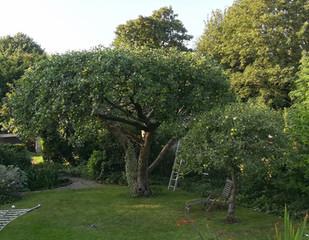 Prunung apple trees 2
