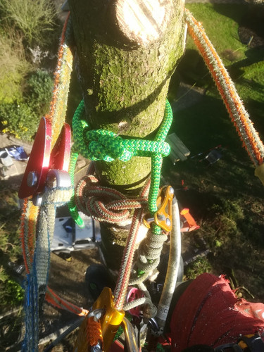 Topped out Spruce with our double ropes