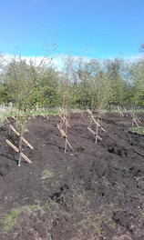 Planting some young trees.