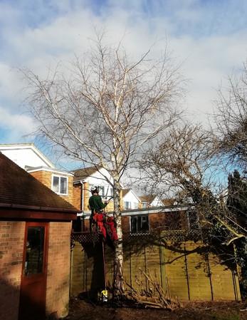 Silver birch removal 1