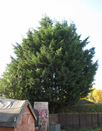Leylandii reduction 1