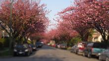 2015 Vancouver Cherry Blossom Festival