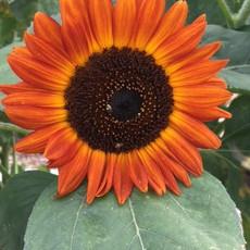 Orange Sunflower2021