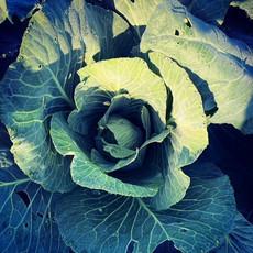 cabbage 2021