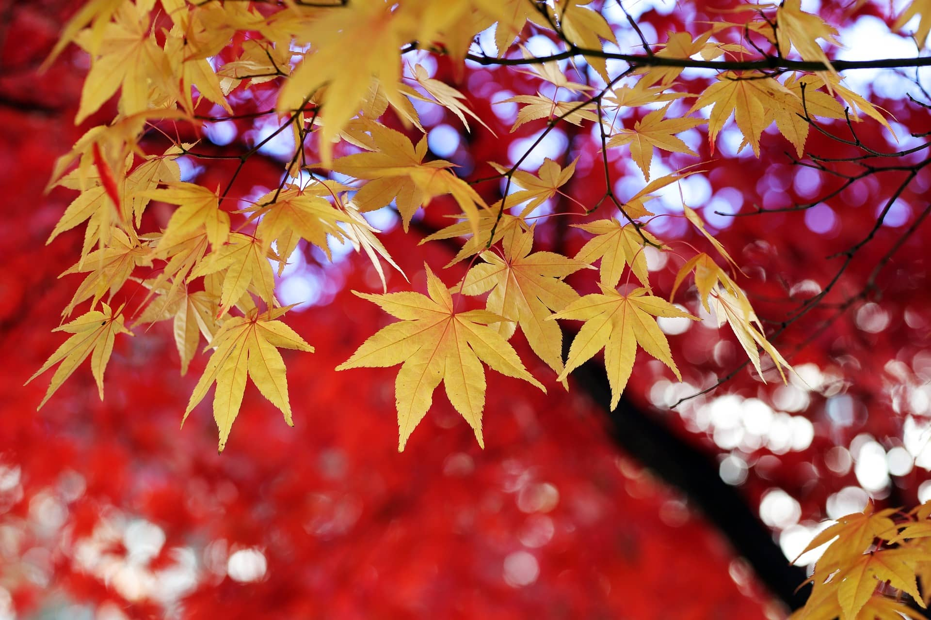 Korean Autumn Leaves