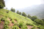 Hadong Tea Farm