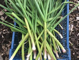 CROPSHARE #11 Wet garlic