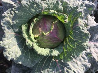 Winter cabbage recipe