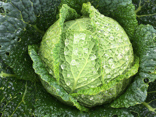 CROPSHARE #4: Cabbage