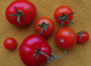 CROP-SHARE #1: Tomatoes