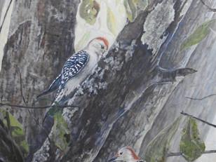 Red-bellied Woodpecker (2019)