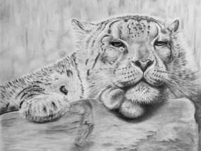 Peering Down - Snow Leopard