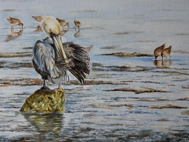 Morning Preen -Brown Pelican