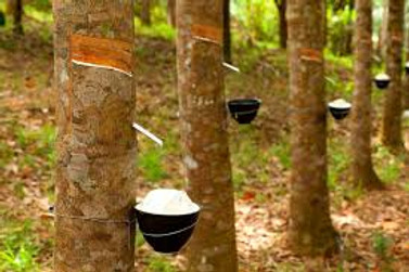 CLESIGN Rubber Tree garden