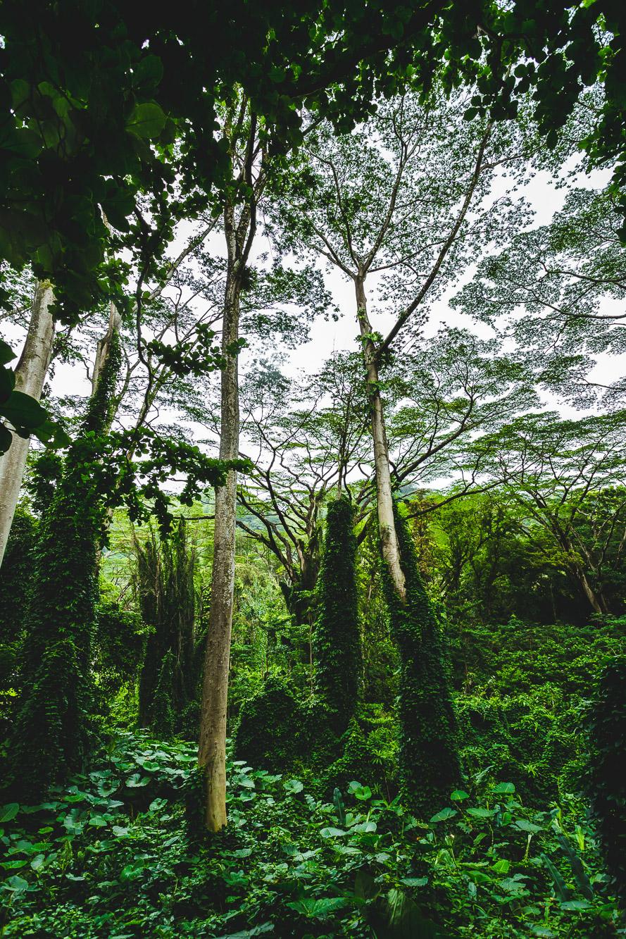 Manoa Falls Lush-2