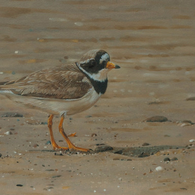 Ringed Plover Study