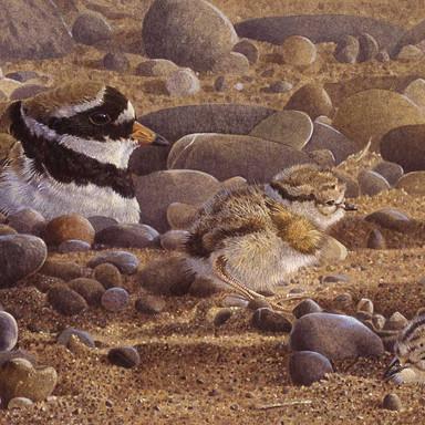 Plover & Chicks