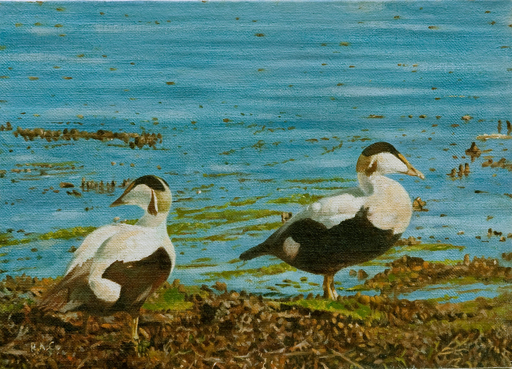 Male Eiders at Walney