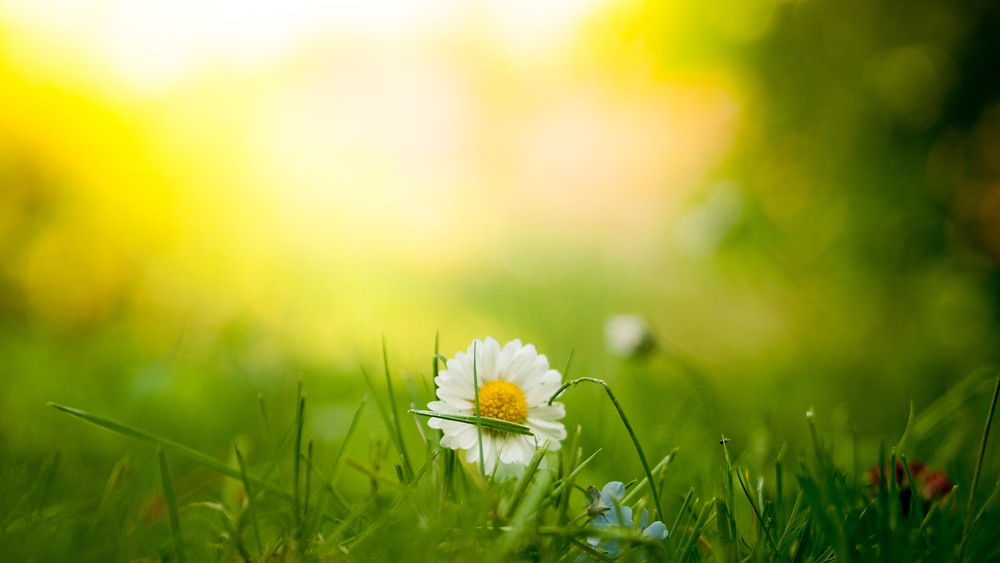 close up of a daisy in a field with a blurred background