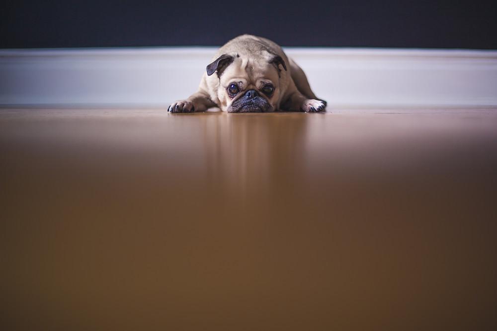 Pug on hardwood floor
