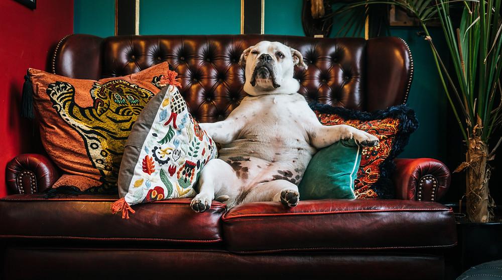 dog on the sofa