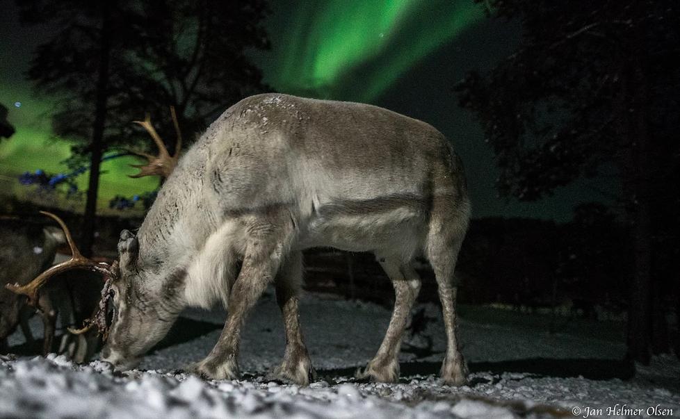 reindeer evening.png