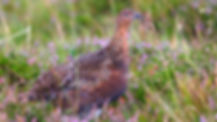 red-grouse-4442081_1280_edited.jpg