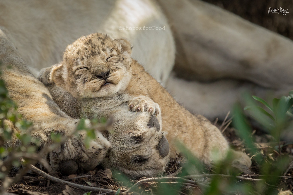 Lion cub small cub phinda private game reserve