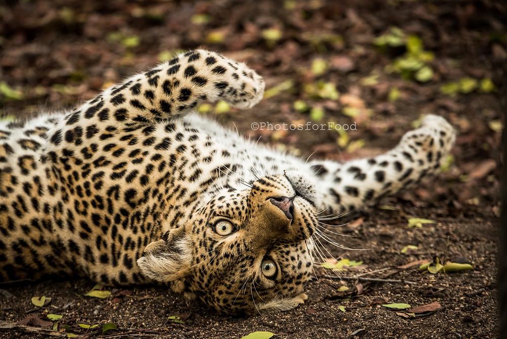 female leopard sabi sands game reserve kruger national park