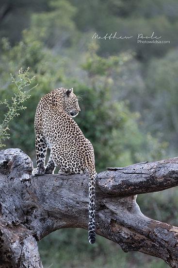 Matthew Poole   Leopard Love Story