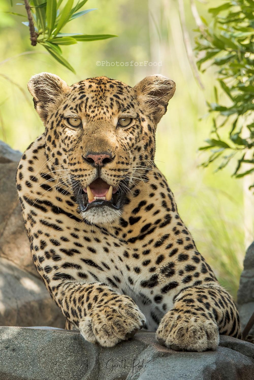 male leopard sabi sands game reserve sand river kruger national park