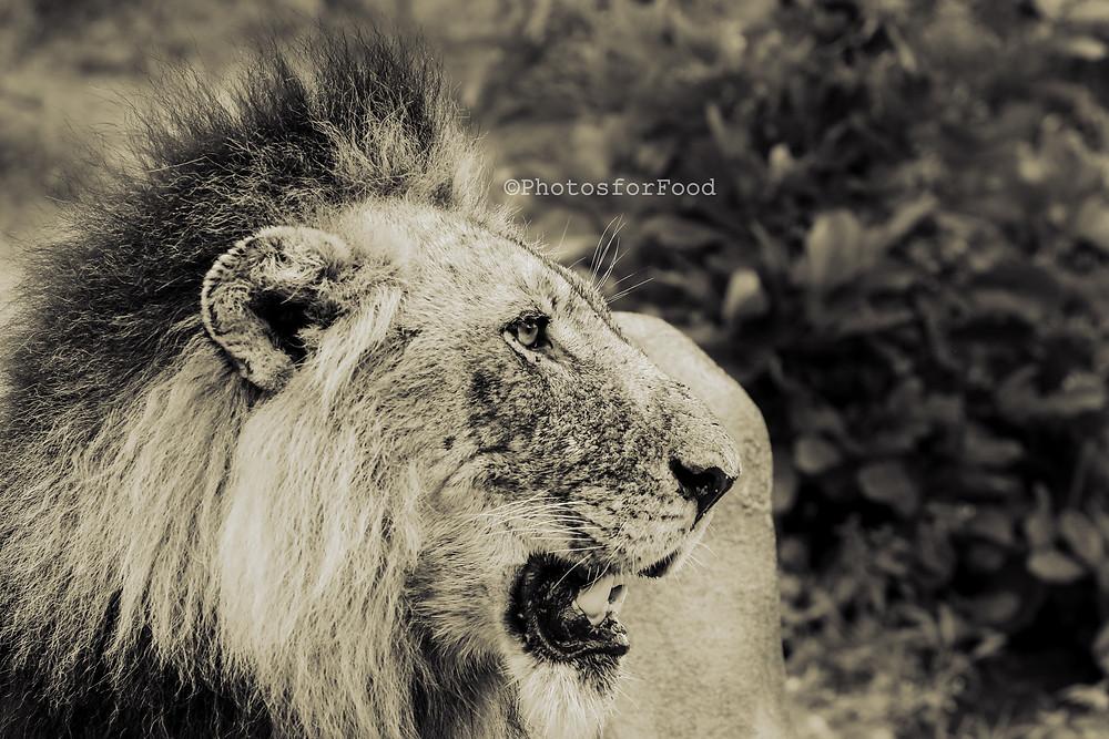 lion male lion sabi sands coalition kruger national park