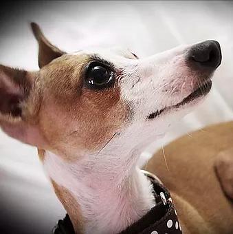 Adopt | Richardson, TX | TX Italian Greyhound Rescue Inc.
