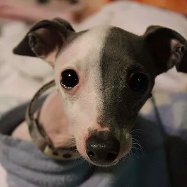 About Us | Richardson, TX | TX Italian Greyhound Rescue Inc.