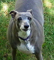 Know Your Breed: Obesity | Richardson, TX | TX Italian Greyhound Rescue Inc.
