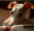 Know Your Breed: General | Richardson, TX | TX Italian Greyhound Rescue Inc.