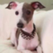 Write a Review | Richardson, TX | TX Italian Greyhound Rescue Inc.