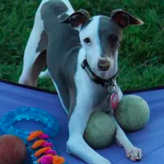 Safeguard Your Italian Greyhound from Surrender | Richardson, TX | TX Italian Greyhound Rescue Inc.